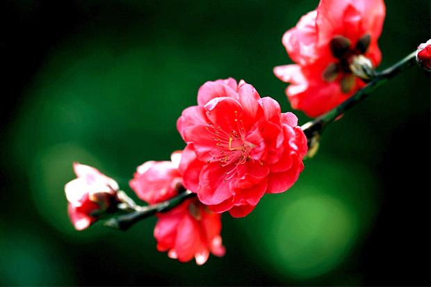 中式园林庭院桃花之美 夭夭其艳,谁匹丰神