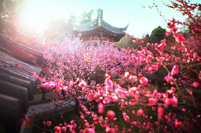 中式传统庭院梅花之韵  缕缕幽芳,超然脱俗