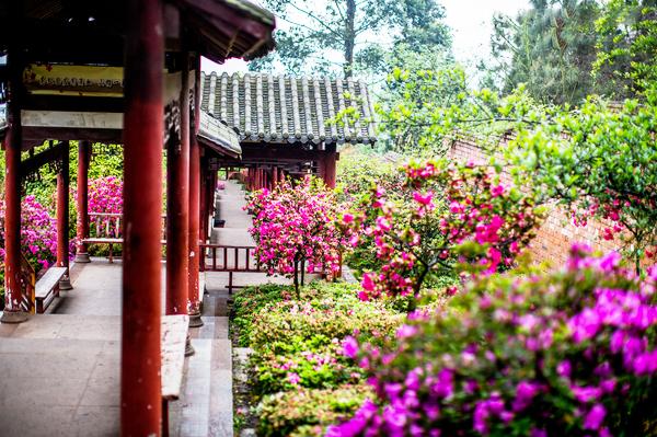 杜鹃花于中式庭院亭亭玉立,清韵潋滟